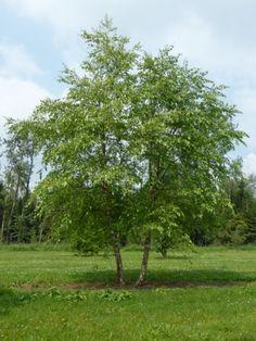 Multi-stem trees: a list of species and characteristics. Betula Nigra, Trunks, Nursery, Den, Plants, Drift Wood, Tree Trunks, Baby Room, Child Room