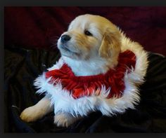 White English Golden Retriever Puppy all dressed up for the Holidays.