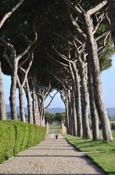 Viale Tenuta Belvedere, Guado al Tasso wineyard in  Bolgheri, Livorno