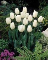 Tulip - Darwin Hybrid - White Clouds