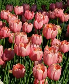 Tulip Menton Exotic - Single Late Tulips - Tulips - Fall 2014 Flower Bulbs