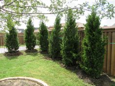 Brodie Eastern Red Cedar planted as a privacy screen by Treeland Nursery. Privacy Landscaping, Backyard Landscaping, Landscaping Ideas, Privacy Hedge, Backyard Privacy, Privacy Screens, Pergola Patio, Pergola Ideas, Patio Ideas