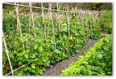 Dicas para ter uma horta produzindo legumes o ano inteiro.