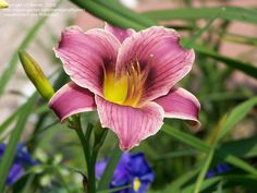 Daylily 'Little Missy'  Hemerocallis--have sim. one in triangle bed