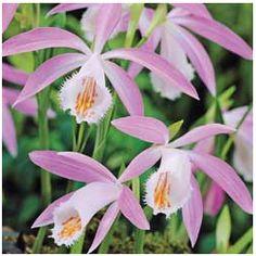 Verdi Orchid Plant