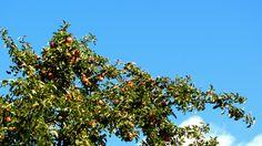 Apples. Ubiquitous. Apples, Apple