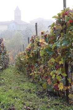 Autumn in the Monferrato, Piemonte, Italy - the home of Italy's noble wines: Barolo, Barbaresco, Barbera, Dolcetto, Nebbiolo