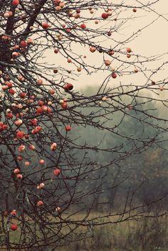 Яблоки. Осенний урожай.