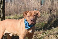 2/3/17 LISTED TO BE MURDERED TODAY!! Staten Island Center My name is BRUNO. My Animal ID # is A1101974. I am a male red and white rhod ridgeback and pit bull mix. The shelter thinks I am about 8 YEARS old. I came in the shelter as a OWNER SUR on 01/22/2017 from NY 10305, owner surrender reason stated was COST.