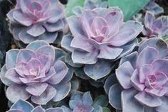 Purple succulents that we will be using in the bouquets and on the cocktail tables.