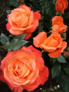 Spiced Coffee Rose... I thought these were called Tropicana . Orange roses. My fav next to yellow ..♡
