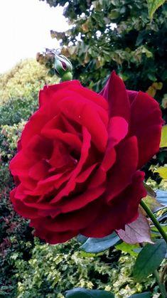 Jasmeetraj Jasmit - Google+ Beautiful Flowers Wallpapers, Beautiful Roses, Pretty Flowers, Red Flowers, Beautiful Gardens, Red Roses, Garden News, Rose Rise, Different Types Of Flowers