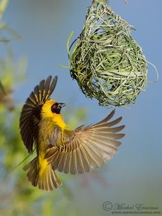 Southern Masked Weaver Pilanesberg National Park, South Africa
