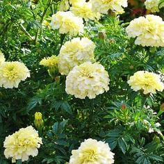 Shop for Marigold Seeds by the Packet or Pound.Com offers Hundreds of Seed Varieties, Including the Finest and Freshest Marigold Seeds Anywhere. Canna Bulbs, Moonflower Vine, Marigolds In Garden, Potato Vines, Balcony Plants, Marigold Flower, Seeds For Sale, Ground Cover Plants, Luminous Colours