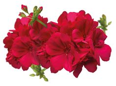 png image of pink flowers transparent - Google Search