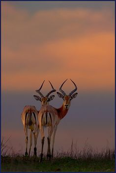 Inspiration Image. Impala in Amashangana, Limpopo, ZA by Hennie van Heerden