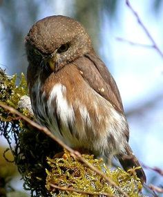 The Tamaulipas pygmy owl (Glaucidium sanchezi) is a species of owl in the Strigidae family. It is endemic to Mexico. This is one of the smallest owls in the world at a mean length of 13.5 centimetres (5.3 in). However, at 53 grams (1.9 oz), it is slightly heavier than the long-whiskered owlet and the elf owl. Its natural habitat is subtropical or tropical moist montane forests.