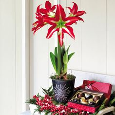 Single Sophisticate Amaryllis Bulb Gift with Chocolates: Whimsical and elegant, this snowflake-embossed tin will bring joy season after season, serving as a decorative bowl for potpourri, ball ornaments, and other holiday knick-knacks. And then there is the Amaryllis! -- This product is no longer available, however click the image to see this year's Amaryllis Bulb Gifts!