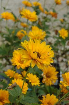 """Bressingham Doubloon Sunflower (Heliopsis helianthoides """"Bressingham Doubloon"""") in St Paul Minneapolis Twin Cities Metro Minnesota at Linder's Garden Center  4 feet, partial shade, blooms mid summer to mid fall"""
