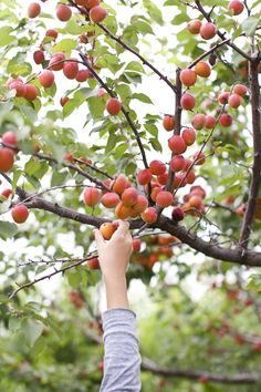 Involves a garden with an apple tree. Or a nectarine tree. A tree is mandatory.