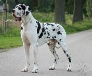 Vulpine Great Danes Euro Vs American With Images Great Dane