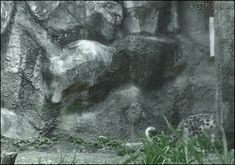 Snow leopard changes direction with style. [video]