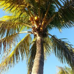 Things that make us happy every single time.. looking up and seeing #coconuts :) ..it's a #coconut kind of life  #tropical #palm #tree #tropics #palmtree #organic #lifestyle #sunshine #summer