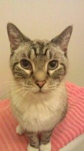 Adopt Me- Leroy Tails Inc. #pawschicago #adoptapet #cat