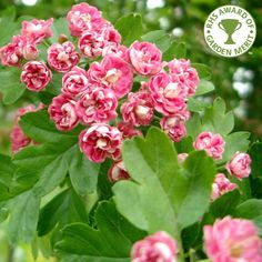 Hawthorn - Crataegus laevigata Rosea Flore Pleno Tree.  Double pink flowering, followed by red haws and yellow/bronze Fall foliage.  V. popular with wildlife.  Grows 16 x 13 feet in 20 years. Robust trees suitable to almost any location and soil.