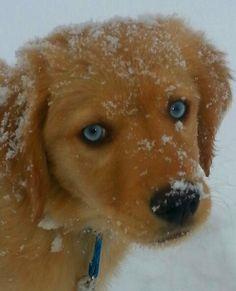 Finnegan! Golden Retriever / Australian Shepherd  Dog  Mutt  Adorable  Blue eyes Animals