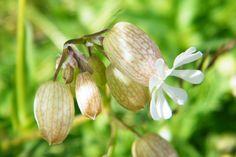 Silene vulgaris, bladder campion, near Seaford Sussex UK wildflower