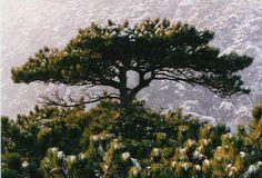 Borovice - Pinus