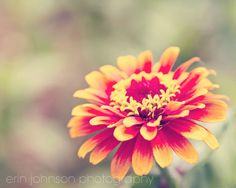 flower photography red home decor yellow home decor nature photography zinnia floral wall art living room decor bedroom art
