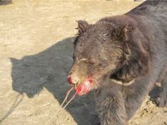 bear baiting (still legal in south carolina), and other disgusting animal fighting that happens in America and around the world. :''''(