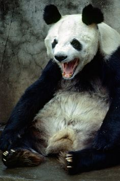 An angry panda