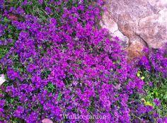 Creeping Thym rouge. L'une de ces plantes parfaites: couvre-sol plante, parfumé, persistant, utile dans rocher et les rocailles ou entre les pavés, et que diriez-vous laisser déborder sur le côté d'un panier accroché aux herbes? Prix polyvalence!