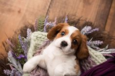 Cavalier King Charles Spaniel puppy portraits puppy photographer.  Sara Pope Photography, Brentwood CA.  www.sarapopephotography.com
