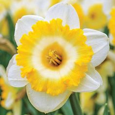Large Cupped Daffodil Bright Sun - My site