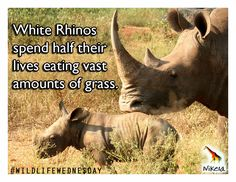 This week we are featuring the mighty white rhino! Did you know that this species spend HALF their lives just eating grass? Rhino Poaching, What You Can Do, Statistics, Conservation, Rhinos, Environment, Wildlife, Animals, Monitor