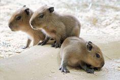 Baby capybaras http://ift.tt/2m8OIu8
