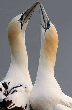 Gannets at Bempton Cliffs, UK by Dan Kitwood: Northern Gannets pair for life and return to nest each summer on the 100 meter high chalk cliffs at Bempton. THey are the largest seabird in the UK, with a wingspan of up to 2 m. #Gannets #Brids #Dan_Kitwood