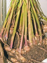 Kořeny se rozrůstají do šířky Green Onions Growing, Growing Greens, Private Garden, Ikebana, Indoor Garden, Garden Inspiration, Vegetable Garden, Bonsai, Flower Pots