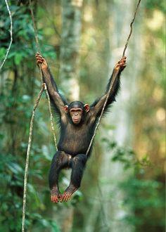 Chimpanzee Pan Troglodytes Juvenile Swinging Chimpanzee Kibale Forest, Uganda by Cyril Ruoso Nature Animals, Animals And Pets, Baby Animals, Funny Animals, Cute Animals, Primates, Mammals, Beautiful Creatures, Animals Beautiful