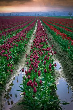 The Skagit Valley Tulip fields! From The Top 27 Places In The U. That Foreigners Are Craziest About Visiting. Great Places To Travel, The Places Youll Go, Places To See, Flower Carpet, Travel Around The World, Around The Worlds, Tulip Fields, Outdoor Travel, Vacation Spots