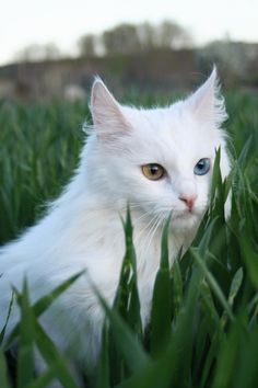 A lovely White Turkish Angora playing hide & seek in the pasture grass. It has 1 Amber & 1 Blue eye — likely deaf in it's left ear.