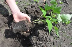 A hand at the left of the frame grasps the base of a small sweet potato plant with green leaves and roots growing in a clump of black potting soil, with a hole dug in brown earth in the background. Sweet Potato Plant, Potato Gardening, Growing Sweet Potatoes, Irish Potatoes, Garden Park, Root Vegetables, Potting Soil, Tropical Plants, Green Leaves