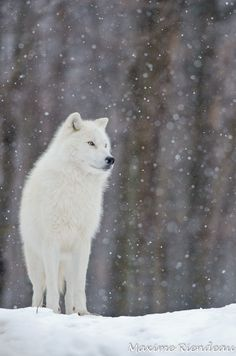 Arctic Wolves are a subspecies of Grey Wolves. Arctic Wolves are incredibly adaptive and versatile, able to survive year-round subzero temperatures. Due to the hostile environment in which they live, Arctic Wolves are the only subspecies of wolf that is not threatened by the activities of humans. [Photo by Maxime Riendeau.] so majestic