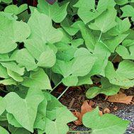 'Margarita' sweet potato vine  Latin name: Ipomoea batatas 'Margarita'  Zone 11
