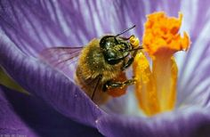 SAVE THE HONEY BEES!   (picture credit:  fcps.edu)