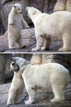 Cute baby polar bears